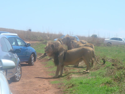African Safari Tour - Lion Photos