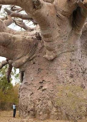 Biggest Tree On Earth