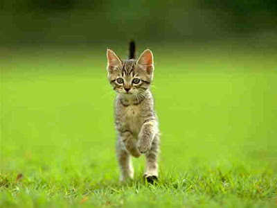 Cat Trying to Walking on two legs Standing On Lawn