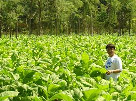 Kebun tembakau rakyat di pulau sumbawa