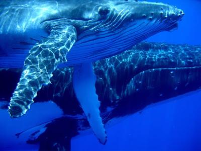 BALEINES Le bruit fait fuir les baleines