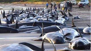 2009 03 27 010103 Pourquoi les baleines et les dauphins échouent ils sur les plages ?