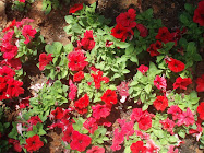 Petunias rojas