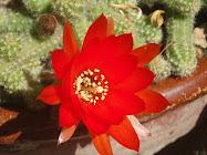Flor de Chamaecereus