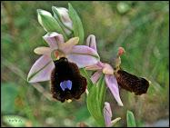 Orquídea barbuda