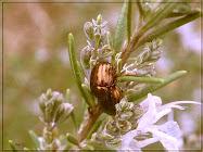 Romero con escarabajos