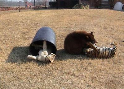 Brothers 07 Foto foto Persaudaraan Antara Beruang, Singa Dan Harimau (Bagaimana Bisa?)