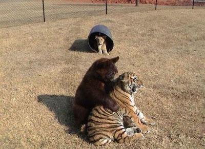 Brothers 06 Foto foto Persaudaraan Antara Beruang, Singa Dan Harimau (Bagaimana Bisa?)