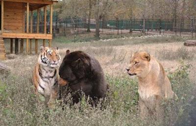 Brothers 02 Foto foto Persaudaraan Antara Beruang, Singa Dan Harimau (Bagaimana Bisa?)