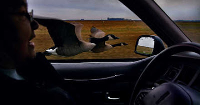 Goose flying next to a car