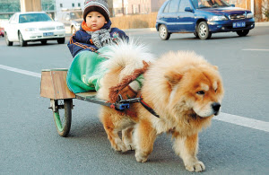 Chow Chow and his little master
