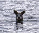 A paddling kangaroo