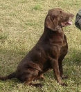 The chocolate Labrador retriever that apparently discharged the gun
