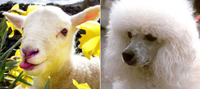 Lamb and Poodle