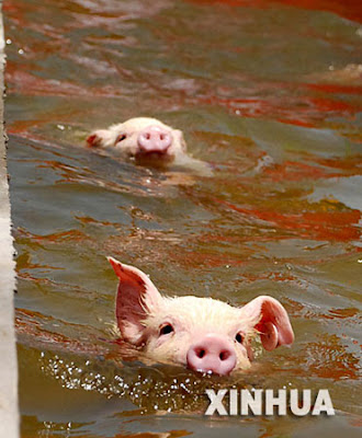 Piglets swimming