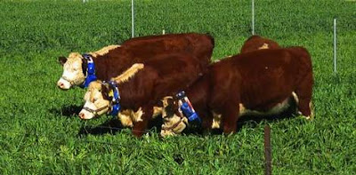 Cows wearing wear battery-powered collars