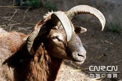 goat with four horns