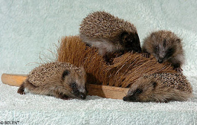 Four tiny orphaned hedgehogs