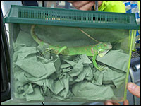 The iguana was found in the woman's bra
