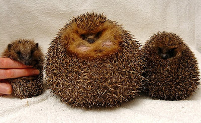 The obese hedgehog