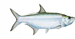 Tarpon / Megalops cyprinoides