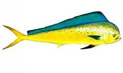 Dolphin fish / Coryphaena hippurus / Coryphaena equiselis