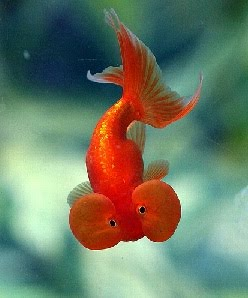 the taling goldfish How to care for goldfish  these types of goldfish can grow to be a foot or even more in length  let's talk about what happens once you actually have your .
