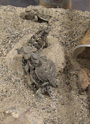 Look what we got! Mother's Day for me! My kids found these horned lizards .