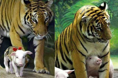 Pig takes care of tiger