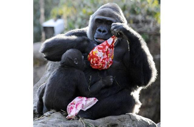 Momoko, The Western Lowland Gorilla