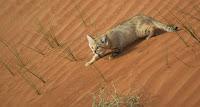 Барханная кошка на дюнах
