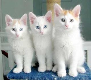Котята породы Турецкий ван (Ванская кошка)