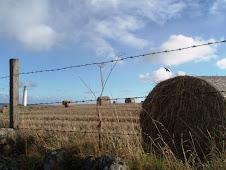 polja psenice