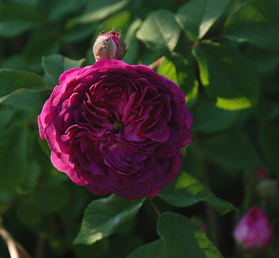 Rosa Hippolyte