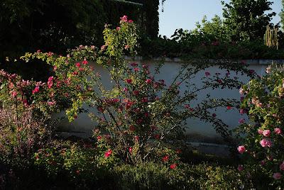 Rosa Kiese Rose