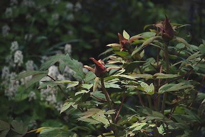 Paeonia 'Kokuryunishiki'