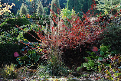 Cotoneaster horizontalis Calamagrostis x acutiflora 'Karl Foerster'
