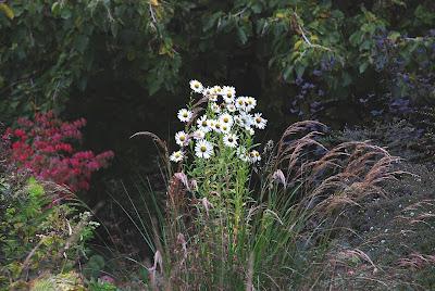 Leucanthemella serotina 'Herbststern