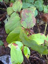 (Hypericum androsaemum)  Hipiricão de folha larga, conhecido por Hipiricão do Gerês