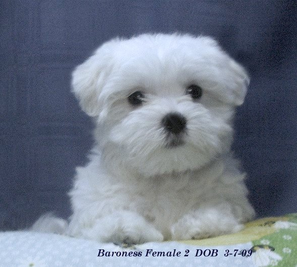 maltese+puppies.jpg