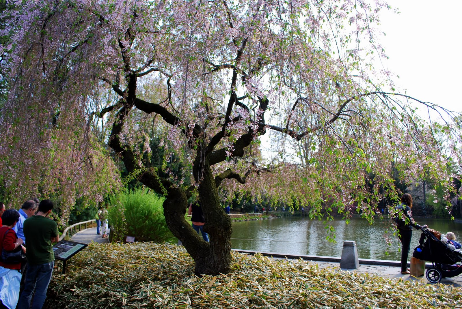 mille fiori favoriti the brooklyn botanic japanese hill and pond
