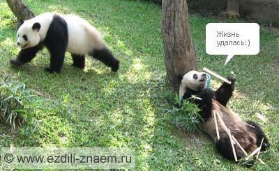 Панды. Таиланд. Зоопарк, Чианг-Май