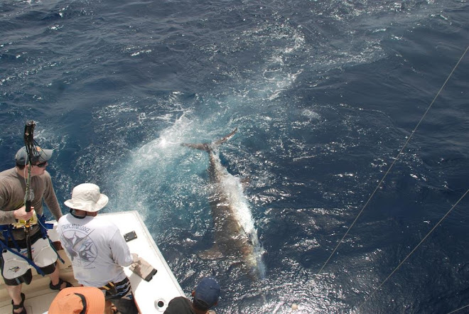SVALLE PB BLUE MARLIN 385KG C&R