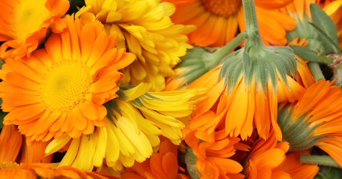 how to make marigold oil
