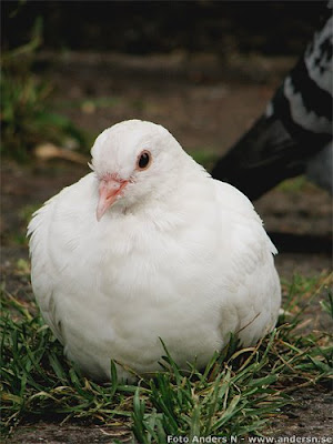 duva, pigeon, dove, paloma
