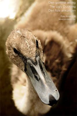 den grimme ælling the ugly duckling den fula ankungen danmark hc andersen svan svanunge swan denmark foto anders n