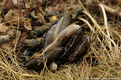 snigel, sniglar, snails, mördarsnigel, mördarsniglar, leopardsnigel, foto anders n