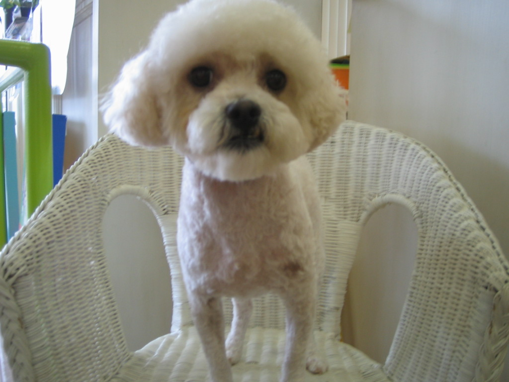 Bichon Hair Cuts Miniature Poodle Puppy Cut Memes
