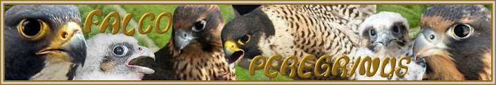 Falco Peregrinus, Slechtvalken