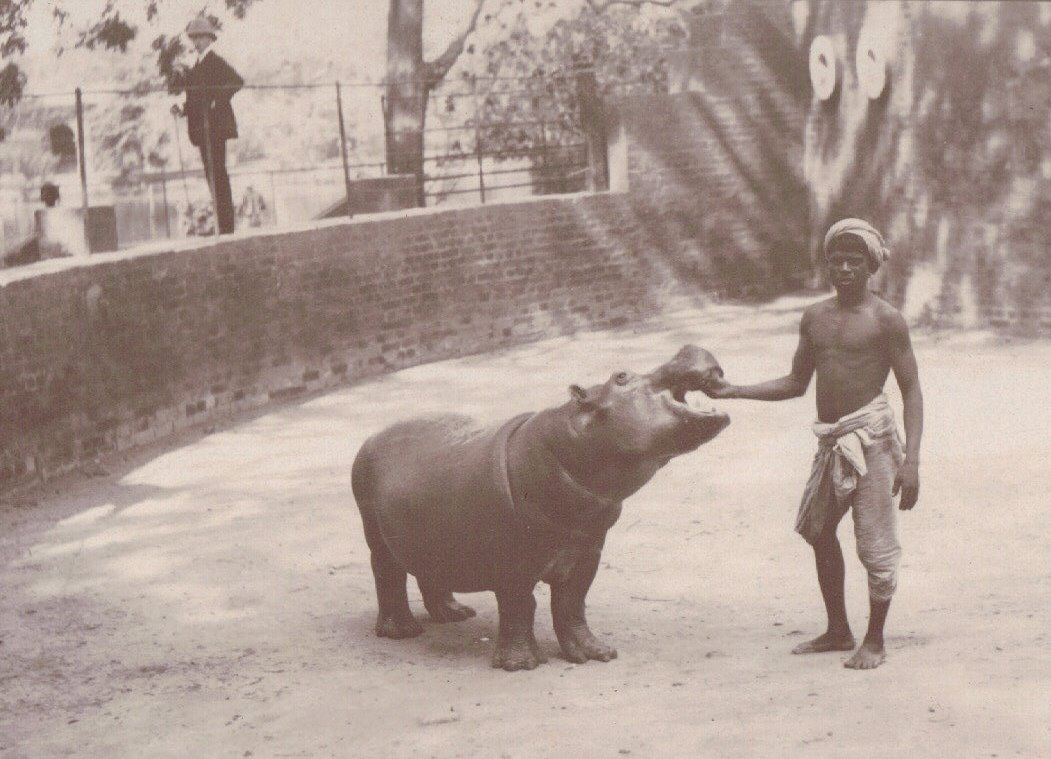 Feeding the Baby Hippo, Calcutta Zoo, Calcutta c.1903